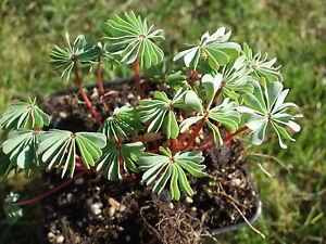 10 Stück Oxalis adenophylla / Sauerklee / winterhart / 2110