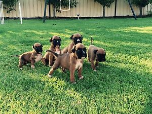 Purebred Boxer Puppies Wagga Wagga Wagga Wagga City Preview
