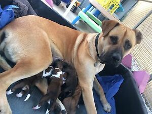 Bull Mastiff X Puppies Wooroloo Mundaring Area Preview