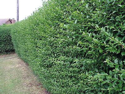 25 Green Privet Plants 2-3ft,Evergreen Hedging 60-90cm,Grow a Quick,Dense Hedge