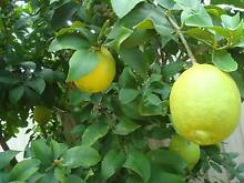Mature  Fruit trees MUST SELL   Eureka Lemon Tree , Inglewood Stirling Area Preview