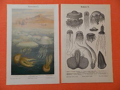 Medusen , Quallen Schirmquallen Schirmqualle Lithographie und Stich 1896