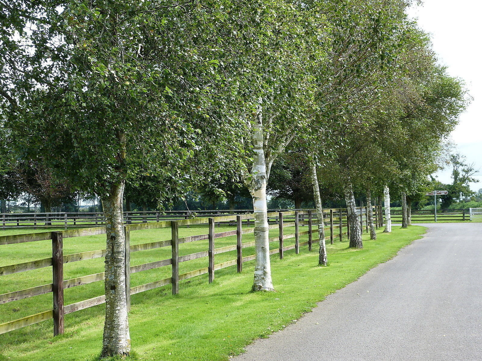 3 Silver Birch 6ft Stunning Mature Specimen Trees Betula