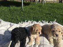 Cavoodle puppies Bairnsdale East Gippsland Preview
