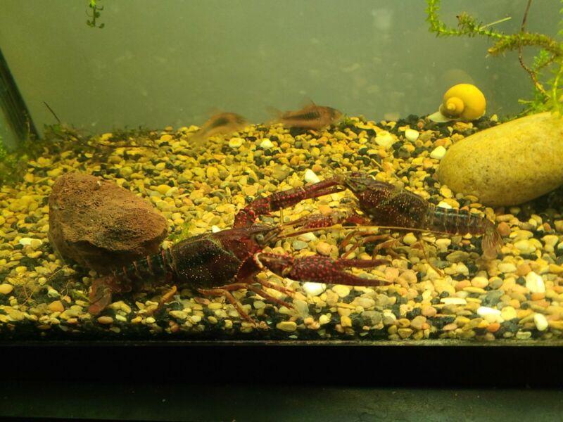 Red lobster aquarium  lobster very large