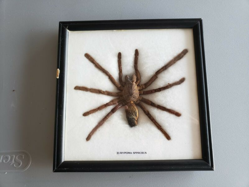"""REAL TARANTULA TAXIDERMY MOUNTED in Black 8"""" x 8"""" Wood Frame - Pre-Owned"""