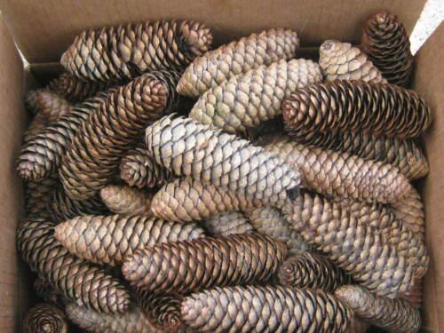 150 pcs Pine Cones good for art or project crafts ORNAMENTS