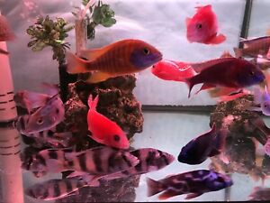 "New New Arrival - 4"" Assorted Cichlids"