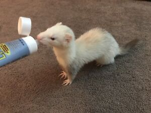 Ferrets look for a better&sweeter home