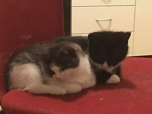 2 Female kittens for sale Cessnock Cessnock Area Preview