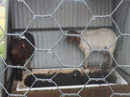 Boer male desexed goat