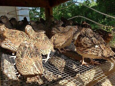 60 Npip Jumbo Brown Pharaoh Coturnix Quail Hatching Eggs