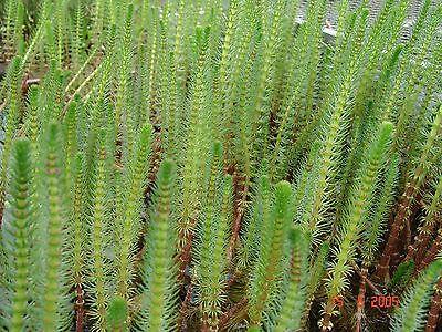 TANNENWEDEL 20x   HIPPURIS VULGARIS auffällige und nützliche Teichpflanze