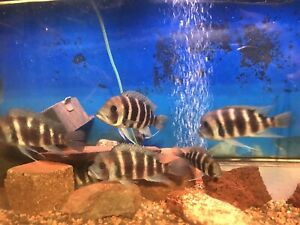Frontosa 7 stripes adults male and females are for sale