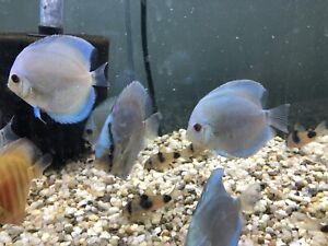Blue diamond and cobalt blue discus ( Ottawa)