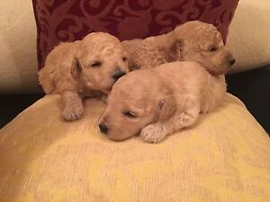 Purebred Toy Poodle Puppies for SALE Liverpool Liverpool Area Preview