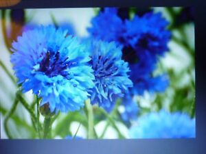 10 X Cornflower Midget Blue large plug plants attracts bees and butterflies.