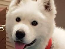 2 YR OLD SAMOYED FOR SALE Glendalough Stirling Area Preview