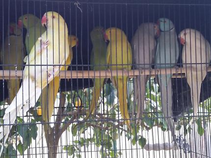 Various Colour Adult Ringneck Parrots