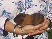 Male Guinea pigs Chittaway Bay Wyong Area Preview