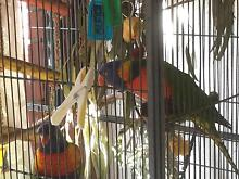 LOST - HARRY much loved RAINBOW LORIKEET Como South Perth Area Preview