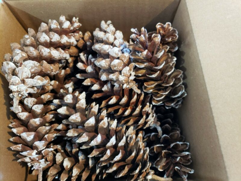 """Eastern White Pine Cones, 3"""" - 6"""", (Qty 25-30), Christmas crafts wedding holiday"""