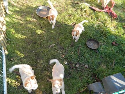 red heelers Pipers River George Town Area Preview