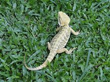 Hypo leather back bearded dragons Bentley Park Cairns City Preview