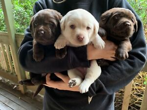 Purebred Labrador Puppies For Sale (with papers) | Dogs