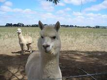 ALPACAs Stud males, females and wethers Lake Bolac Ararat Area Preview