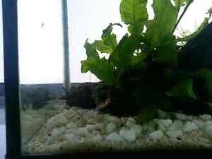 Fish tank aquarium java fern moss shrimp Rosebery Inner Sydney Preview