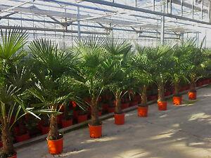 Palmier r sistant au froid 180cm trachycarpus fortunei de for Palmier d exterieur resistant au froid