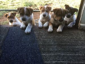 Puppies Cowra Cowra Area Preview