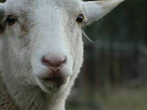 ***Healthy, Friendly, Yearling Sheep*** Jimboomba Logan Area Preview