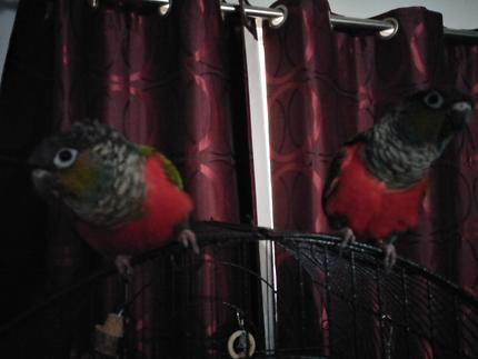 Crimson conures