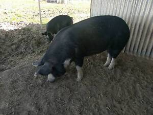 Berkshire Pigs Wivenhoe Pocket Somerset Area Preview
