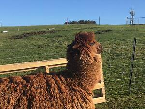 Alpacas for sale Gordon Ku-ring-gai Area Preview