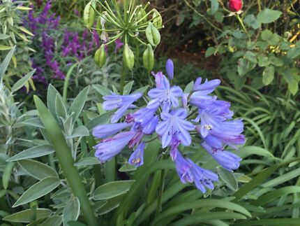 Dwarf Blue agapanthus - farm fresh - from $4 Mansfield Park Port Adelaide Area Preview