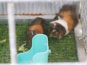 X 2 male guinea pigs and homemade indestructible cage on wheels Clyde Casey Area Preview