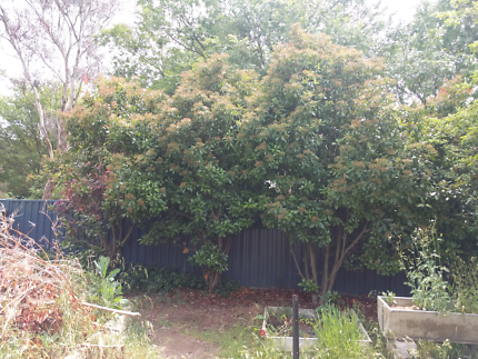 Free photinia hedge plants