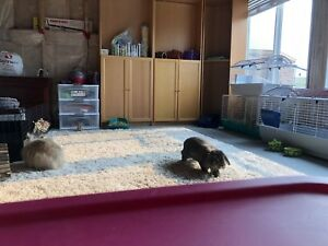 Guinea Pig, Rabbit & Hamster Pet Sitting!