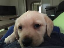 Labrador cross Gold Retriever puppies Burwood East Whitehorse Area Preview