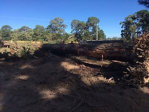 Radiata pine tree Alonnah Kingborough Area Preview
