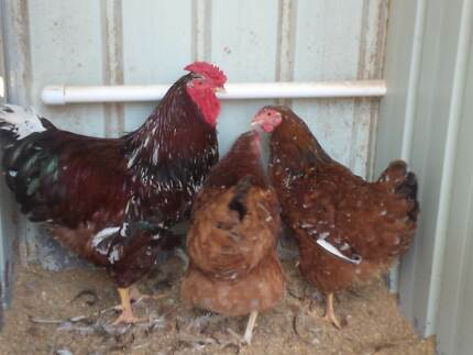 Excess Fertile Hatching Eggs Available each week for pick up !!! Tullamarine Hume Area Preview