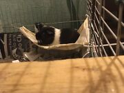 Guinea pig Butler Wanneroo Area Preview