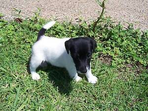 FOX TERRIER PUPPY Standard Gympie Gympie Area Preview