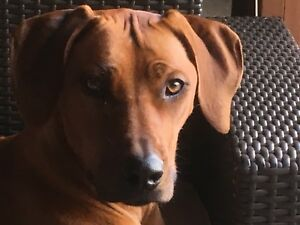 18 month purebred ridgeback for rehoming