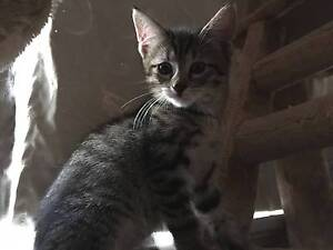 AK1764 : Buzz - KITTEN FOR ADOPTION - Expressions Of Interest Joondalup Joondalup Area Preview