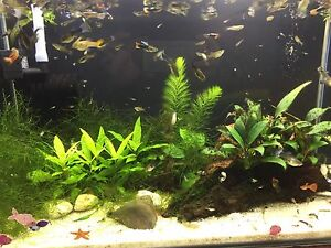 Guppy for sale Noble Park Greater Dandenong Preview