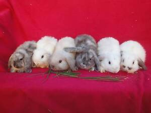 Baby Mini Lop Bunnies Greystanes Parramatta Area Preview